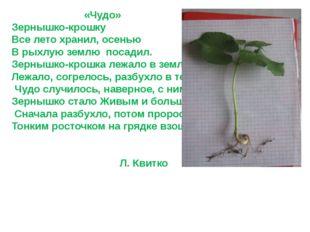 «Чудо» Зернышко-крошку Все лето хранил, осенью В рыхлую землю посадил. Зерны
