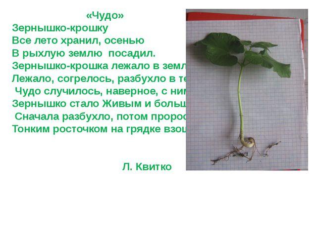 «Чудо» Зернышко-крошку Все лето хранил, осенью В рыхлую землю посадил. Зерны...