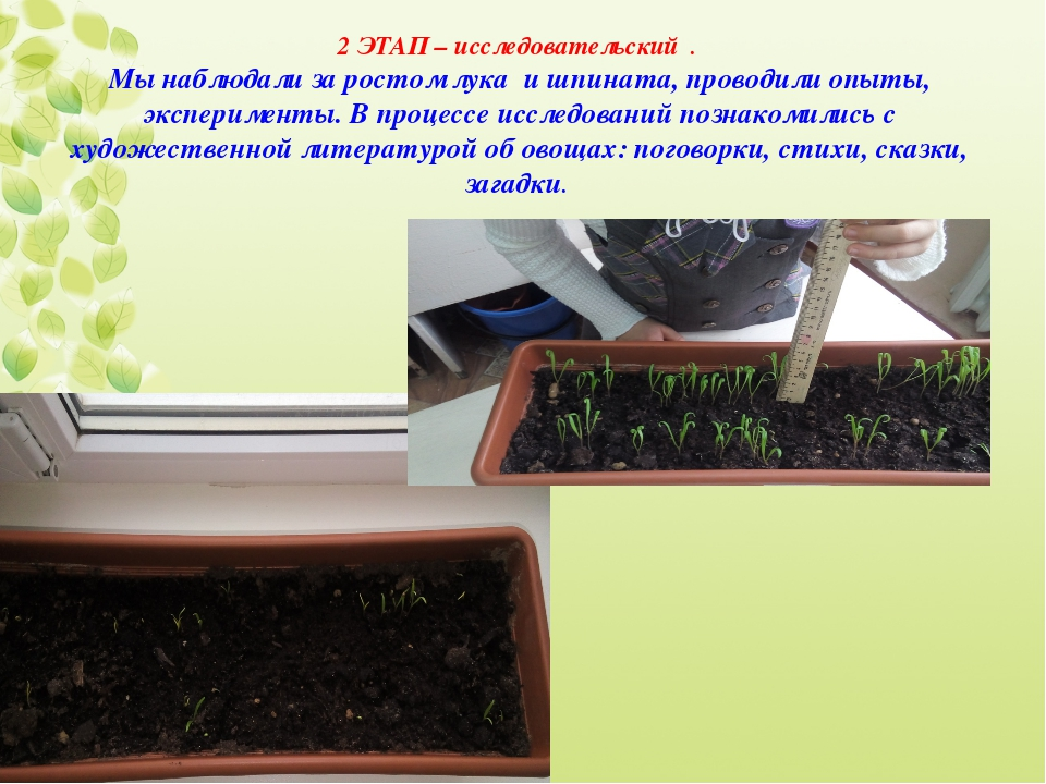 2 ЭТАП – исследовательский . Мы наблюдали за ростом лука и шпината, проводил...