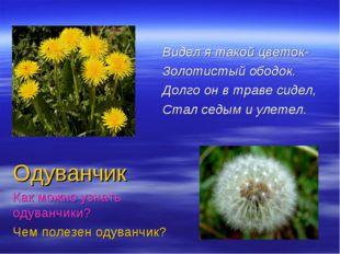 Видел я такой цветок- Золотистый ободок. Долго он в траве сидел, Стал седым и