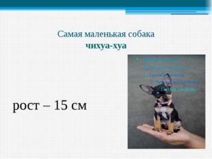 Самая маленькая собака чихуа-хуа рост – 15 см