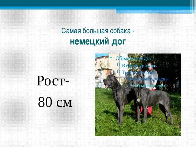 Самая большая собака - немецкий дог Рост- 80 см