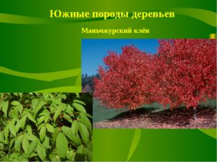 Южные породы деревьев Маньчжурский клён