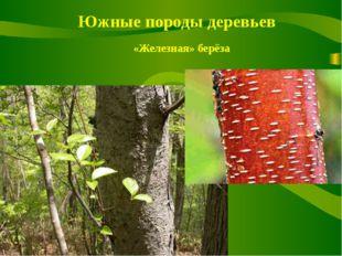 Южные породы деревьев «Железная» берёза
