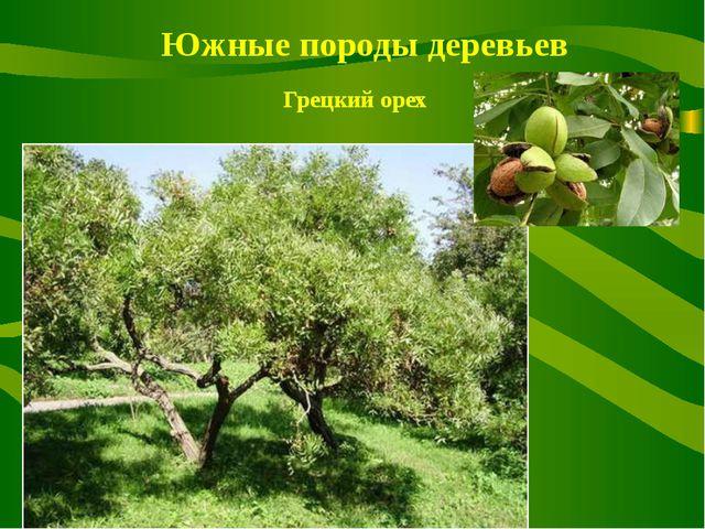 Южные породы деревьев Грецкий орех