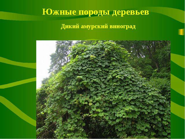 Южные породы деревьев Дикий амурский виноград