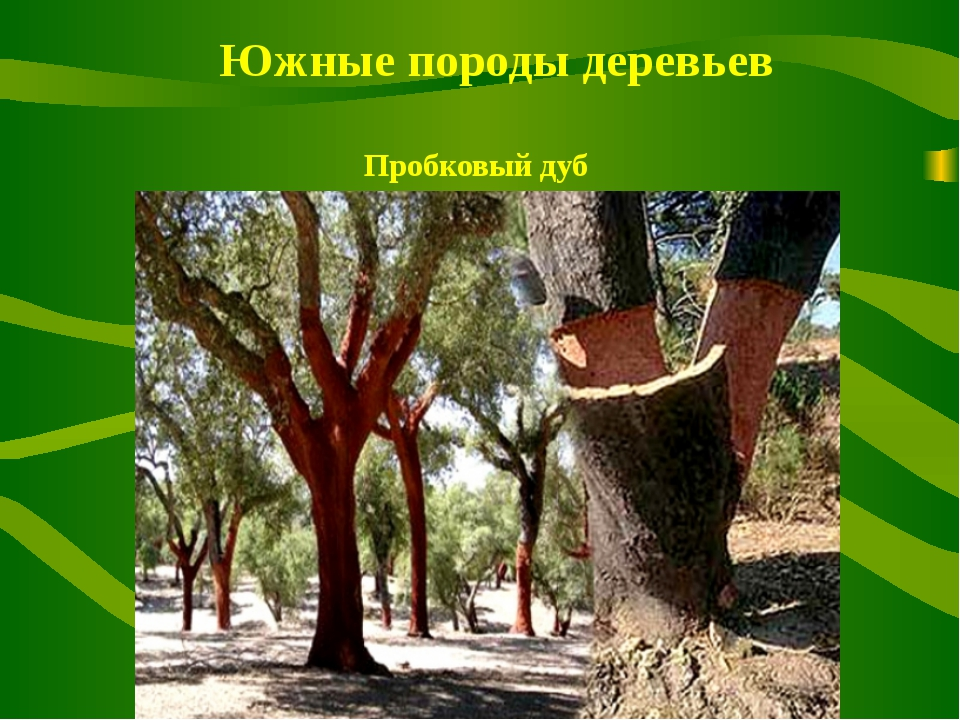 Южные породы деревьев Пробковый дуб