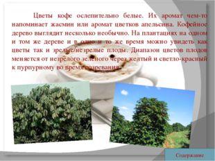 Цветы кофе ослепительно белые. Их аромат чем-то напоминает жасмин или арома