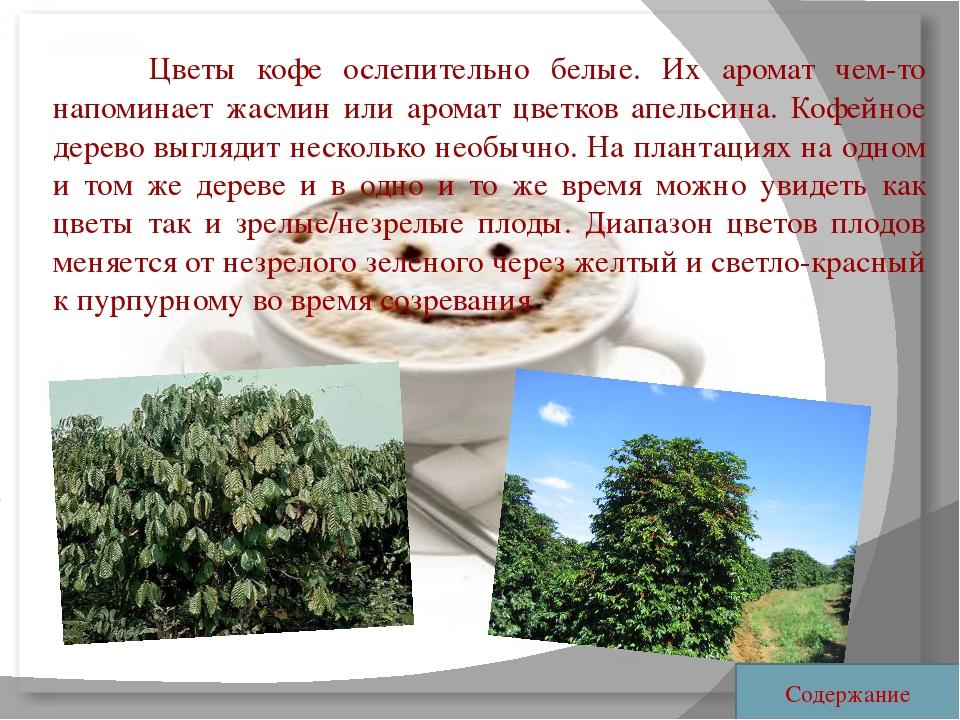 Цветы кофе ослепительно белые. Их аромат чем-то напоминает жасмин или арома...