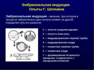 Эмбриональная индукция. Опыты Г. Шпемана Эмбриональная индукция – явление, пр