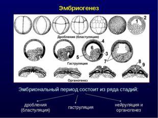 Эмбриогенез Эмбриональный период состоит из ряда стадий: дробления (бластуляц