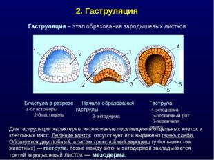 2. Гаструляция Для гаструляции характерны интенсивные перемещения отдельных к