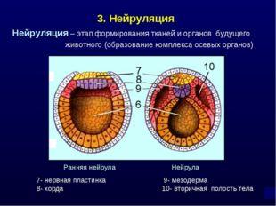 3. Нейруляция Нейруляция – этап формирования тканей и органов будущего животн