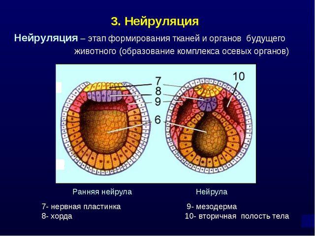 3. Нейруляция Нейруляция – этап формирования тканей и органов будущего животн...