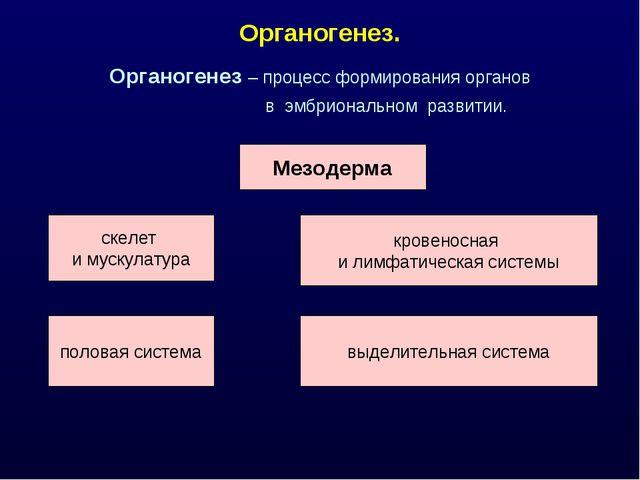 Органогенез. Органогенез – процесс формирования органов в эмбриональном разви...