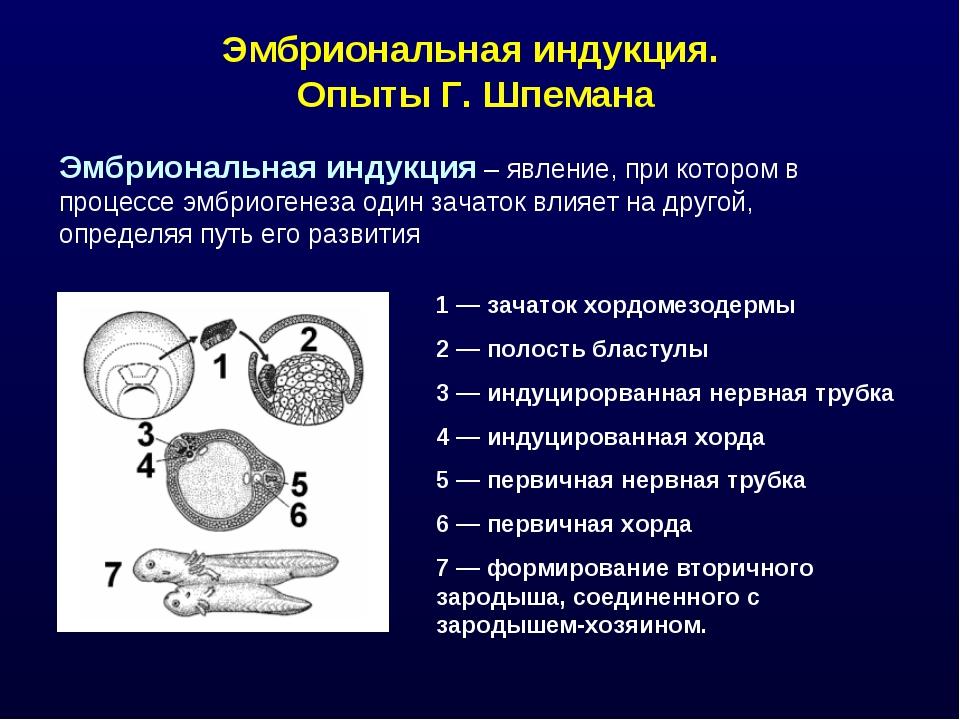 Эмбриональная индукция. Опыты Г. Шпемана Эмбриональная индукция – явление, пр...