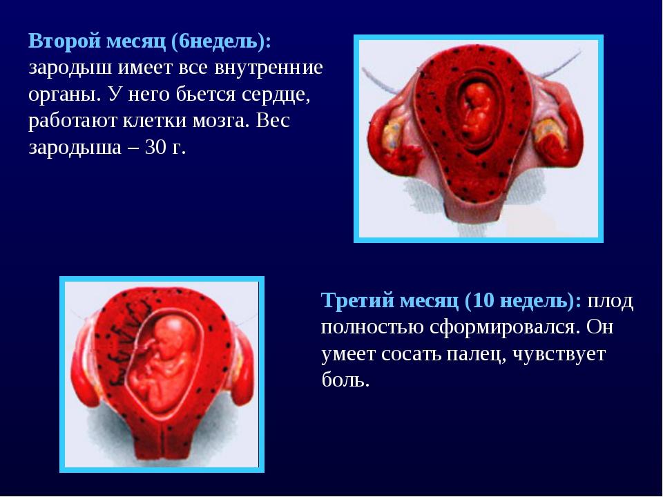 Второй месяц (6недель): зародыш имеет все внутренние органы. У него бьется се...