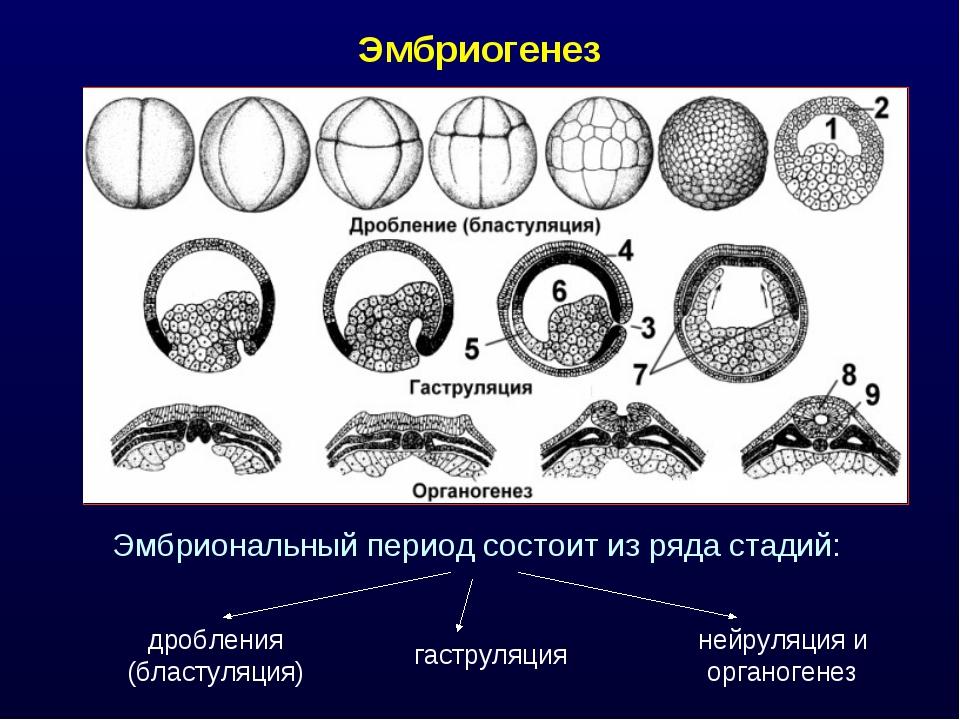 Эмбриогенез Эмбриональный период состоит из ряда стадий: дробления (бластуляц...