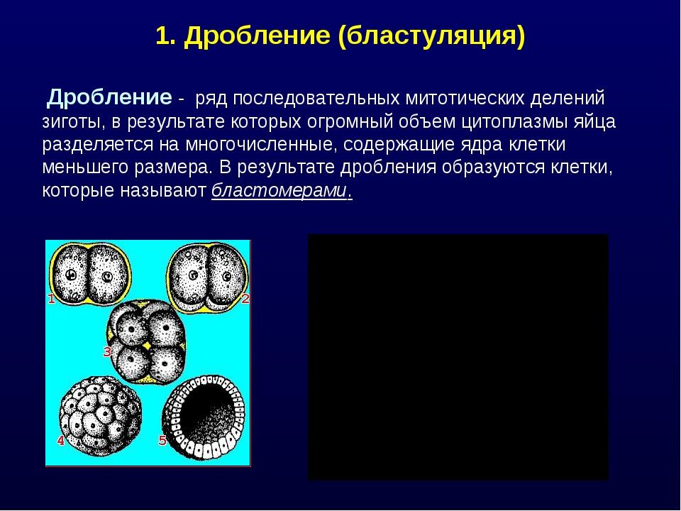 1. Дробление (бластуляция) Дробление - ряд последовательных митотических деле...