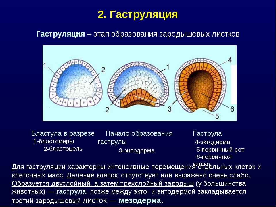 2. Гаструляция Для гаструляции характерны интенсивные перемещения отдельных к...