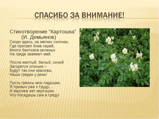 """Стихотворение """"Картошка"""" (И. Демьянов) Скоро здесь, на мягких склонах, Где пр..."""