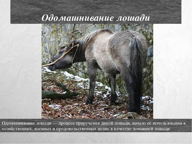 Одомашнивание лошади Одомашнивание лошади — процесс приручения дикой лошади,...