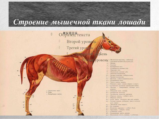 Строение мышечной ткани лошади