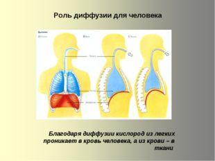 Роль диффузии для человека Благодаря диффузии кислород из легких пpоникaeт в