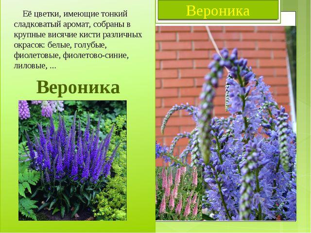 Вероника Вероника Её цветки, имеющие тонкий сладковатый аромат, собраны в кру...