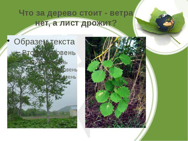 Что за дерево стоит - ветра нет, а лист дрожит?