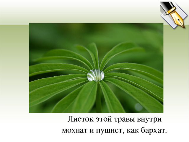 Листок этой травы внутри мохнат и пушист, как бархат.