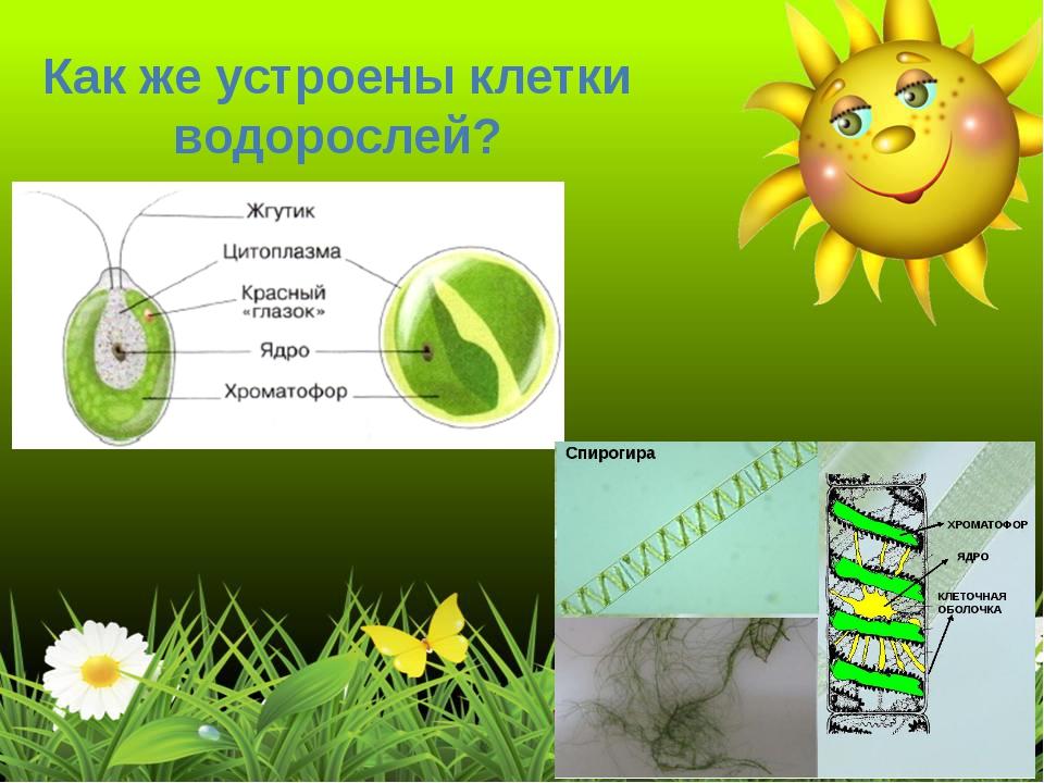 Как же устроены клетки водорослей?