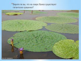 Верите ли вы, что на озере Ханка существуют гигантские кувшинки?