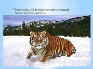Верите ли вы, что амурский тигр перед очередной охотой тщательно «моется»?