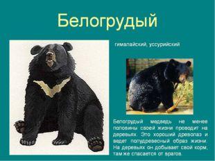 Верите ли вы, что белогрудый медведь не хищник, он редко обижает даже птичку