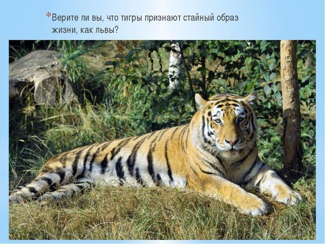 Верите ли вы, что тигры признают стайный образ жизни, как львы?