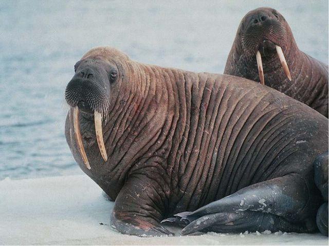 Верите ли вы, что секач – это ушастый тюлень, длиной 3,5 метра, весом700-800...