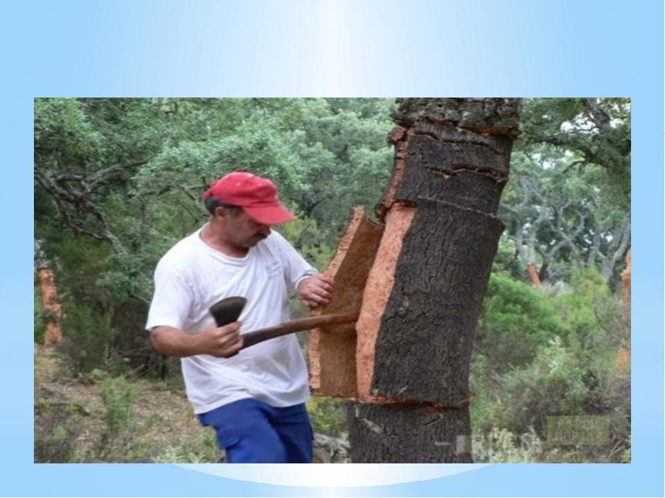 Верите ли вы, что на Дальнем Востоке растёт пробковое дерево и ежегодно проис...