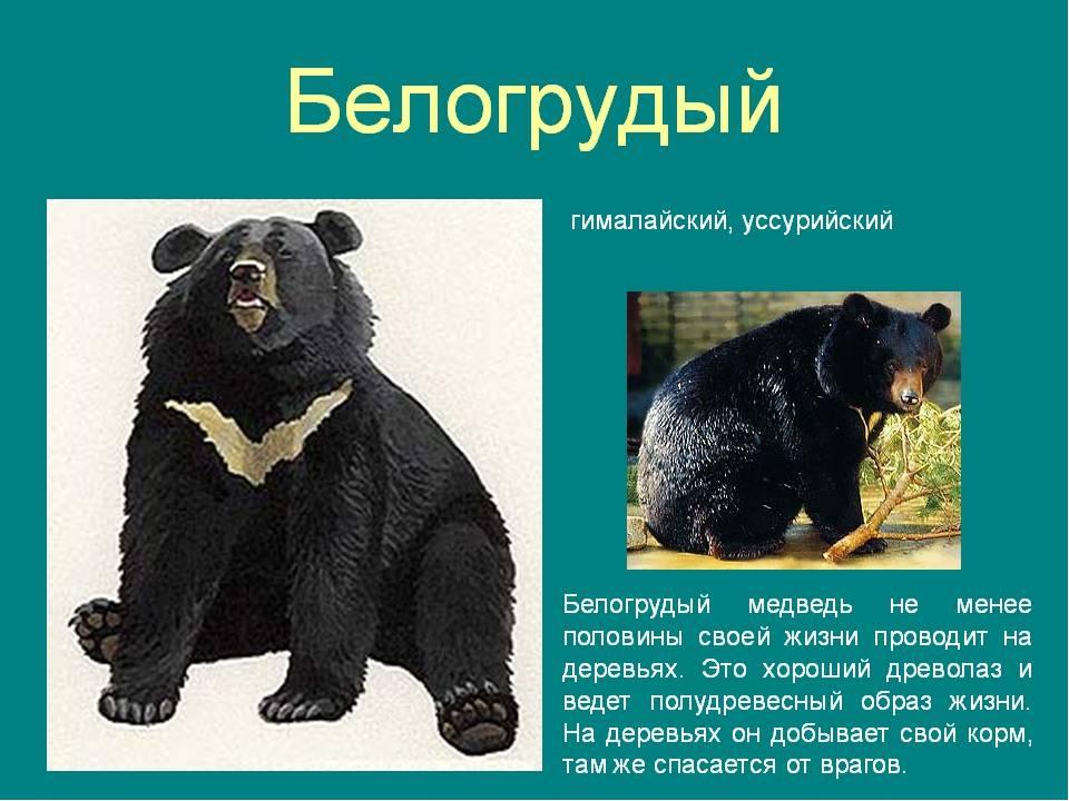 Верите ли вы, что белогрудый медведь не хищник, он редко обижает даже птичку...