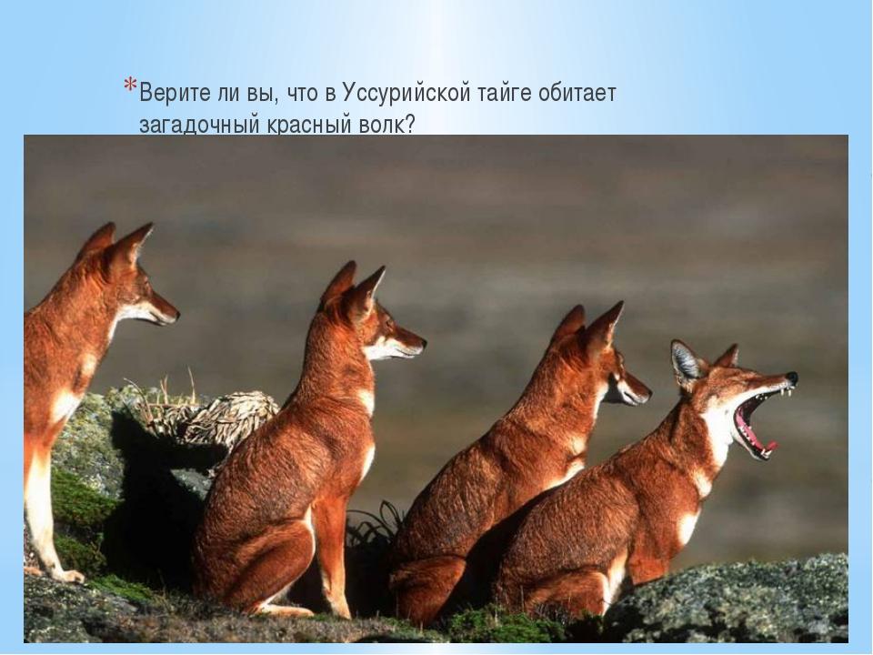 Верите ли вы, что в Уссурийской тайге обитает загадочный красный волк?