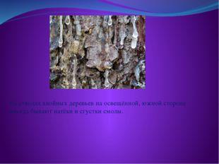 На стволах хвойных деревьев на освещённой, южной стороне иногда бывают натёк
