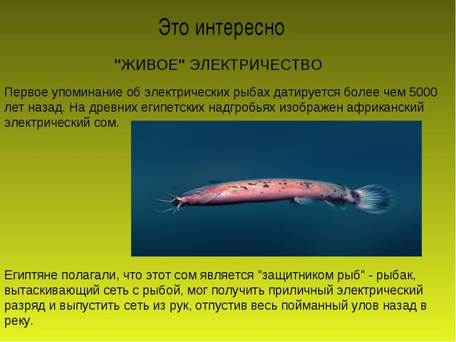 """""""ЖИВОЕ"""" ЭЛЕКТРИЧЕСТВО Первое упоминание об электрических рыбах датируется бол..."""