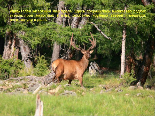 Удивителен животный мир Урала. Здесь сохранилось множество редких экземпляров...