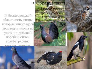 В Нижегородской области есть птицы, которые живут здесь весь год и никуда не