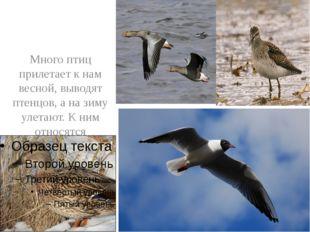 Много птиц прилетает к нам весной, выводят птенцов, а на зиму улетают. К ним