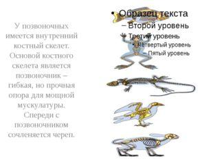 У позвоночных имеется внутренний костный скелет. Основой костного скелета яв