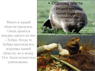 Много в нашей области грызунов. Очень ценится шкурка одного из них – бобра.