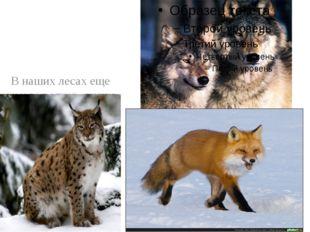 В наших лесах еще немало волков, лисиц. В лесах Заволжья встречается сильный