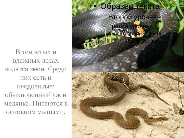 В тенистых и влажных лесах водятся змеи. Среди них есть и неядовитые: обыкно...