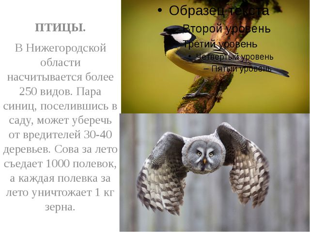 ПТИЦЫ. В Нижегородской области насчитывается более 250 видов. Пара синиц, по...